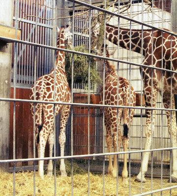 Wilhelma Giraffen
